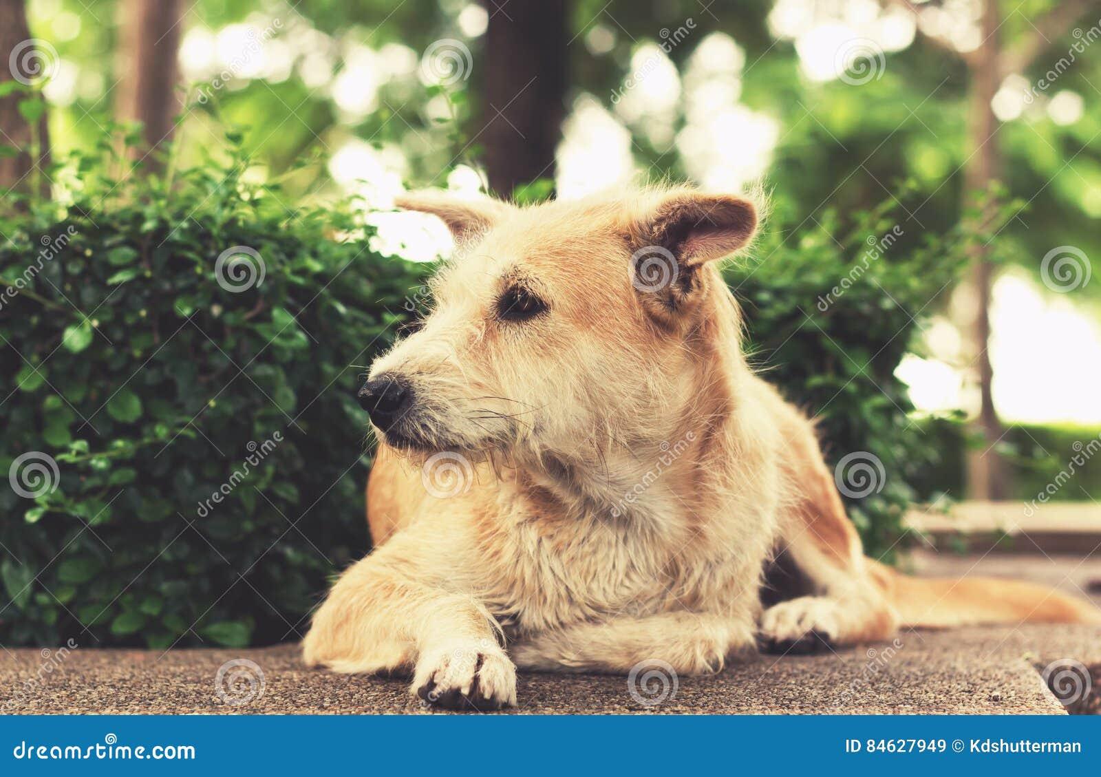Przybłąkany pies z smutnymi oczami patrzeje oddalony i lying on the beach w parku Rocznik