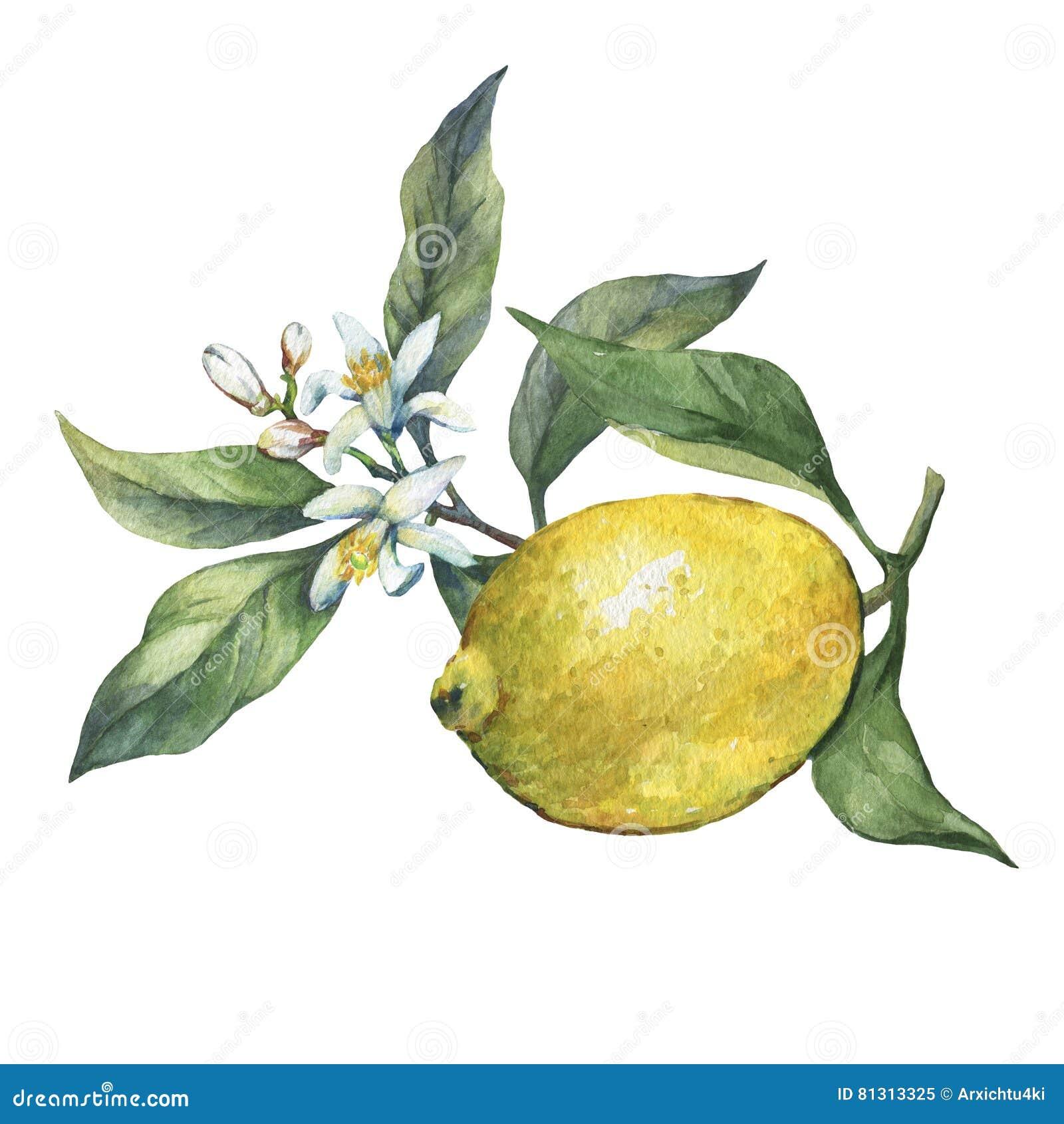 Przygotowania z całej i plasterka świeżą cytrusa owoc cytryną z zielenią opuszcza i kwitnie