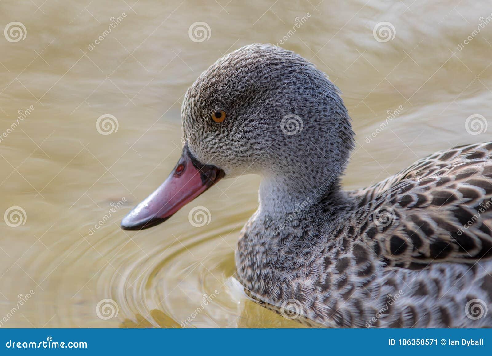 Przylądek cyraneczki kaczka