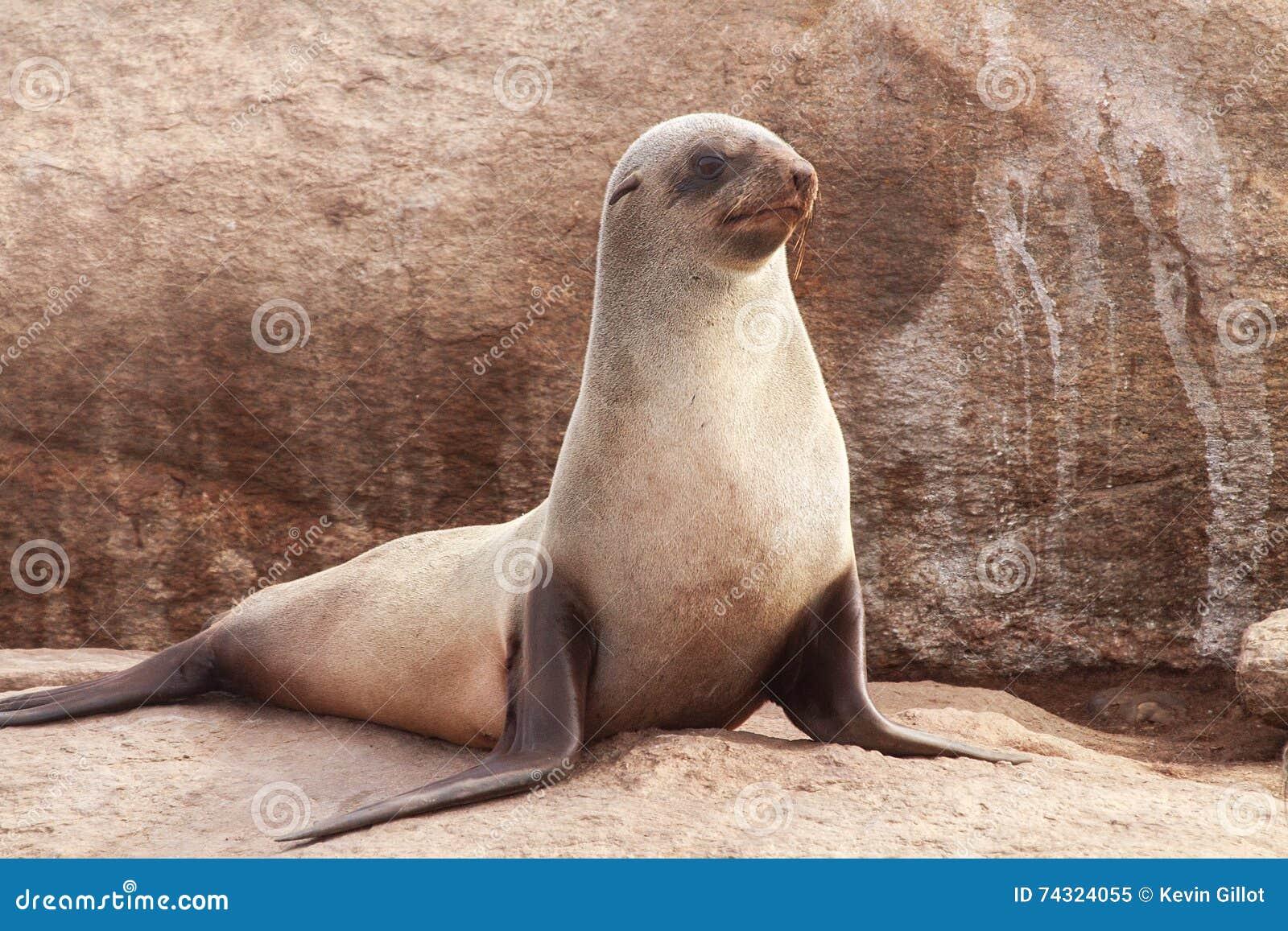 Przylądek Futerkowa foka