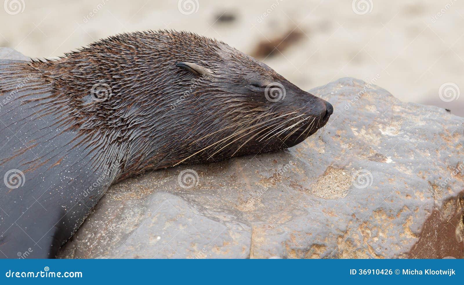 Przylądek futerkowa foka (Arctocephalus pusillus)
