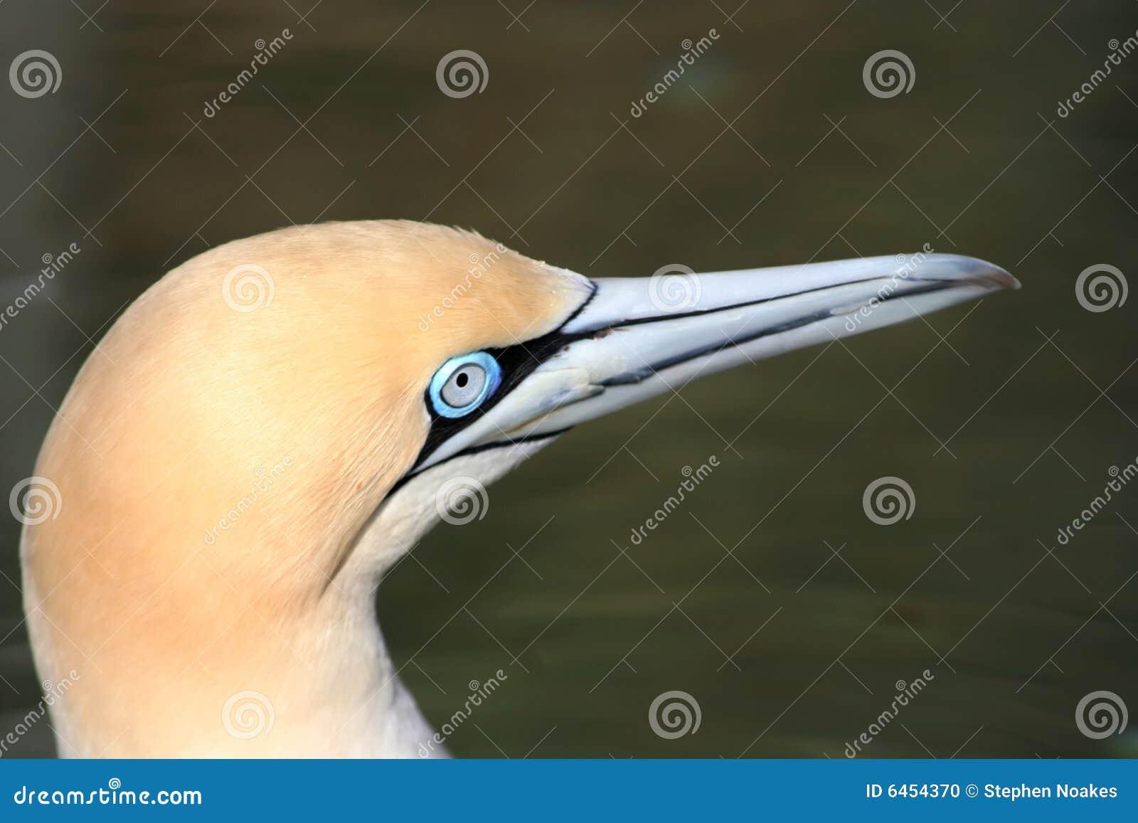 Przylądek gannet