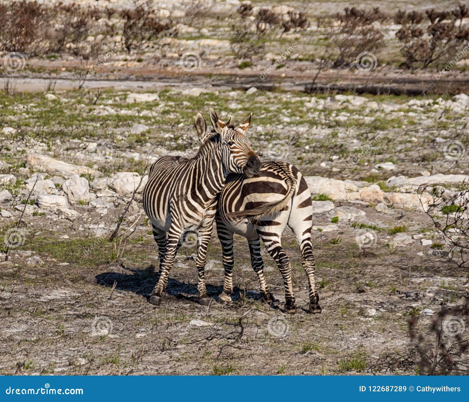 Przylądek Halne zebry