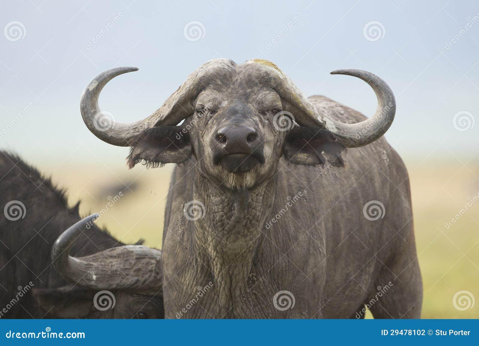 Przylądka Bawoli byk w Tanzania (Syncerus caffer)