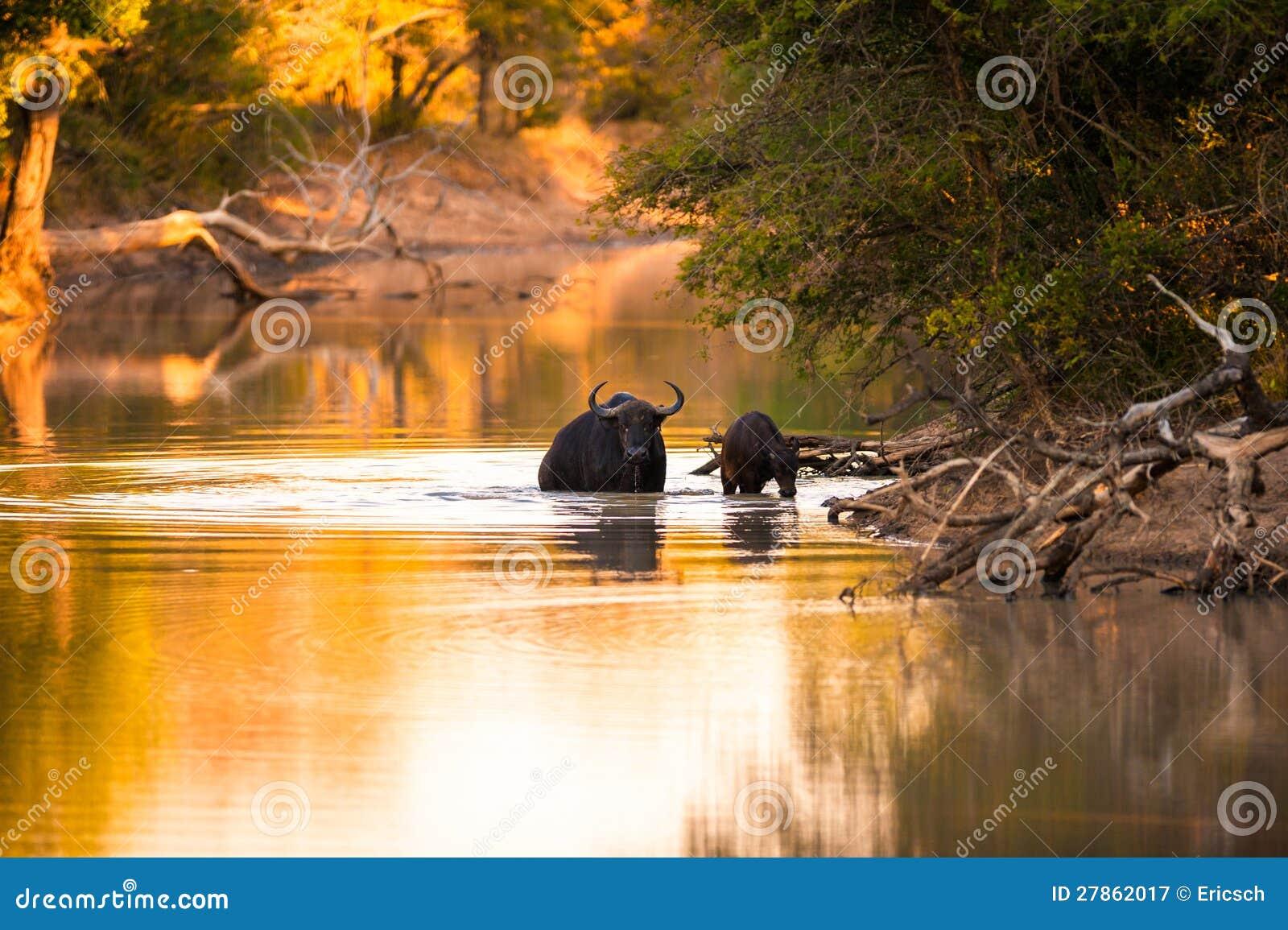 Przylądka bizon w wodzie