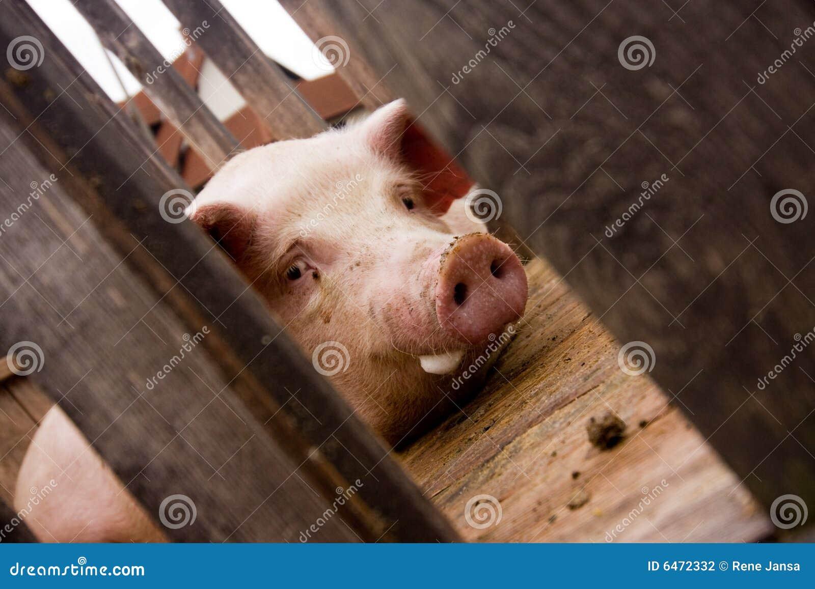 Przypadki świń wielkie różowe