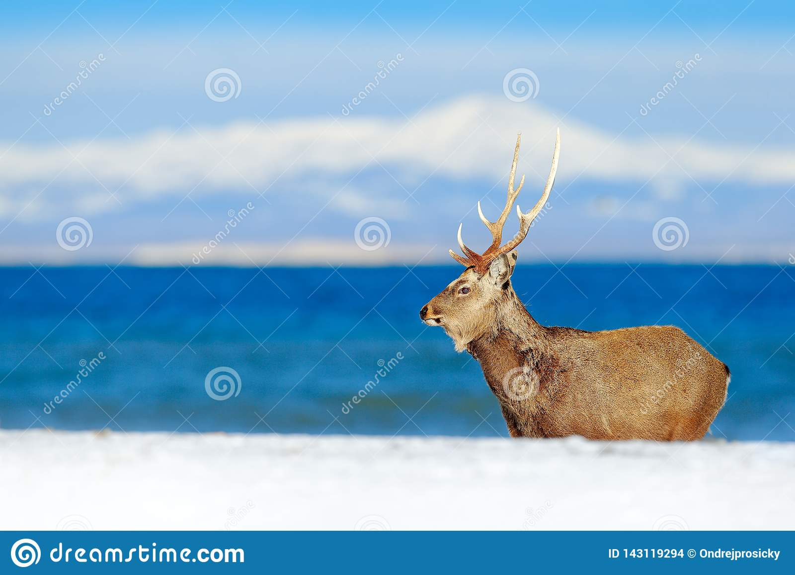 Przyrody scena od śnieżnej natury Hokkaido sika rogacze, Cervus Nippon yesoensis w wybrzeżu z zmrokiem, - błękitny morze, zim gór