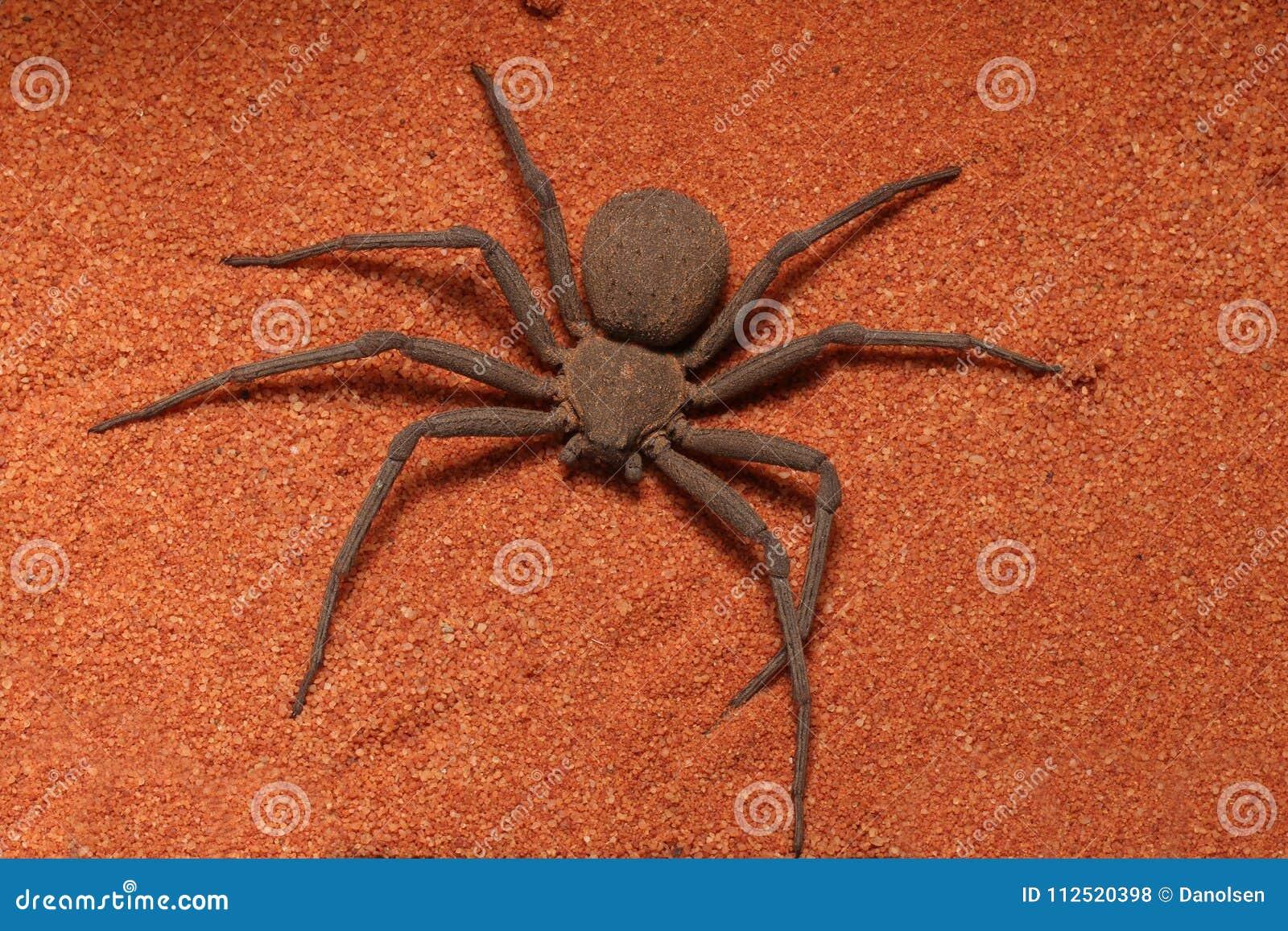 PS sei-osservato molto veloce e terrificante di Sicarius del ragno della sabbia