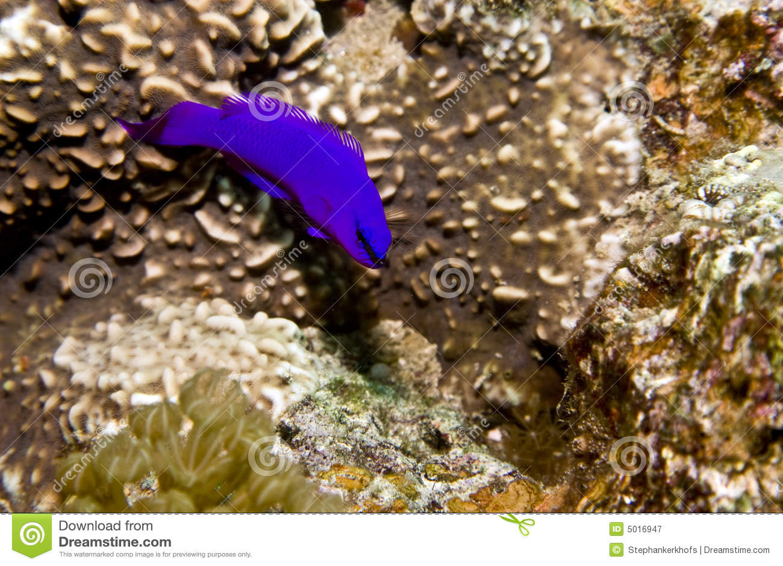 Pseudochromis орхидеи fridmani dottyback