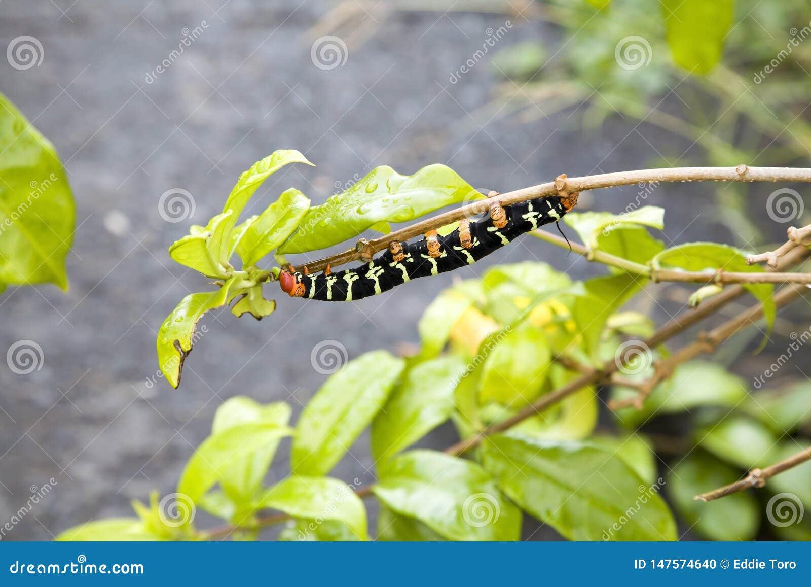 Pseudosphinx-tetrio Gleiskettenfahrzeug, das auf Blättern kaut