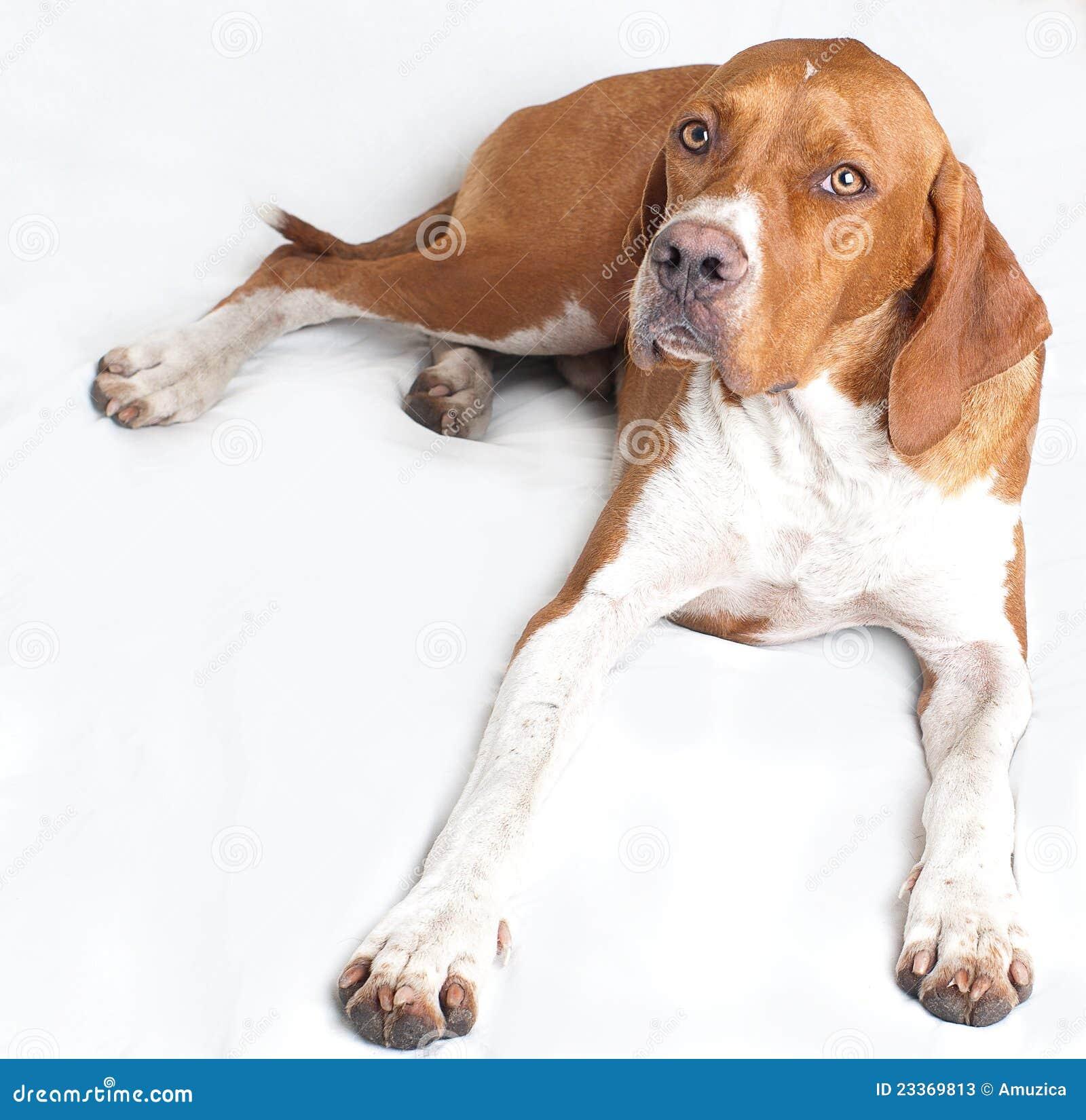 Psi angielski pointer