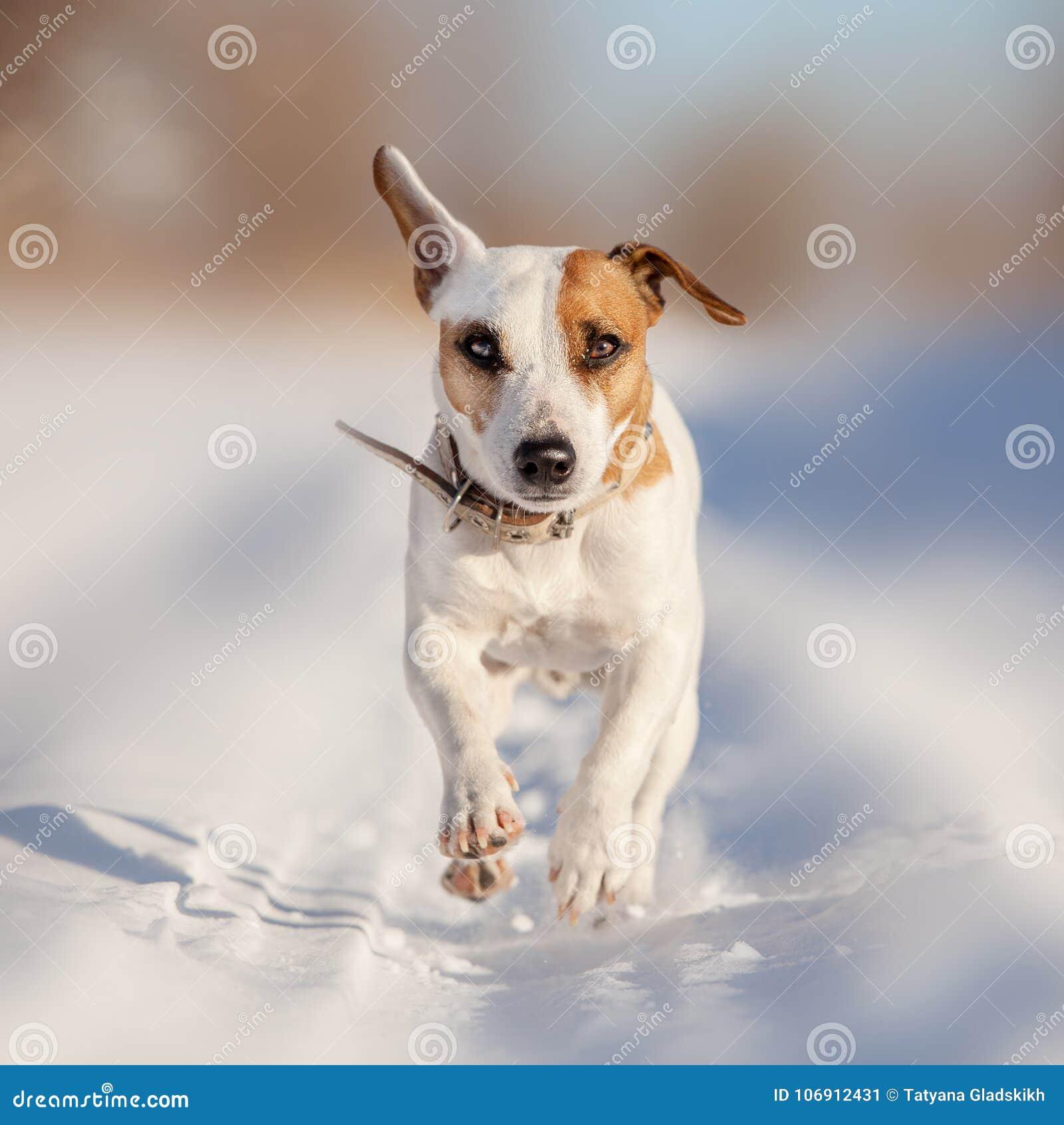 Psi bieg przy zimą