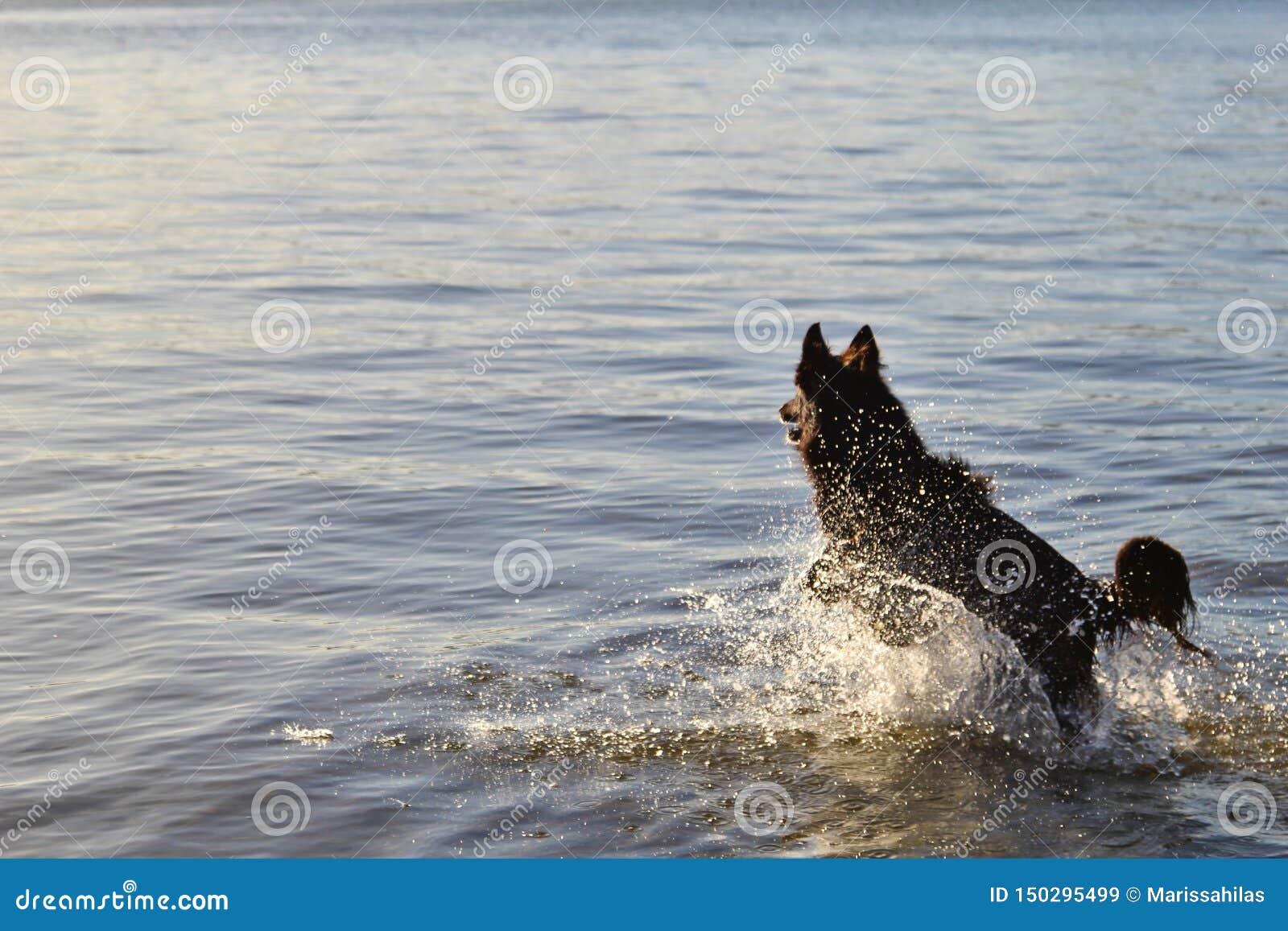 Psi bieg szczęśliwie w suf