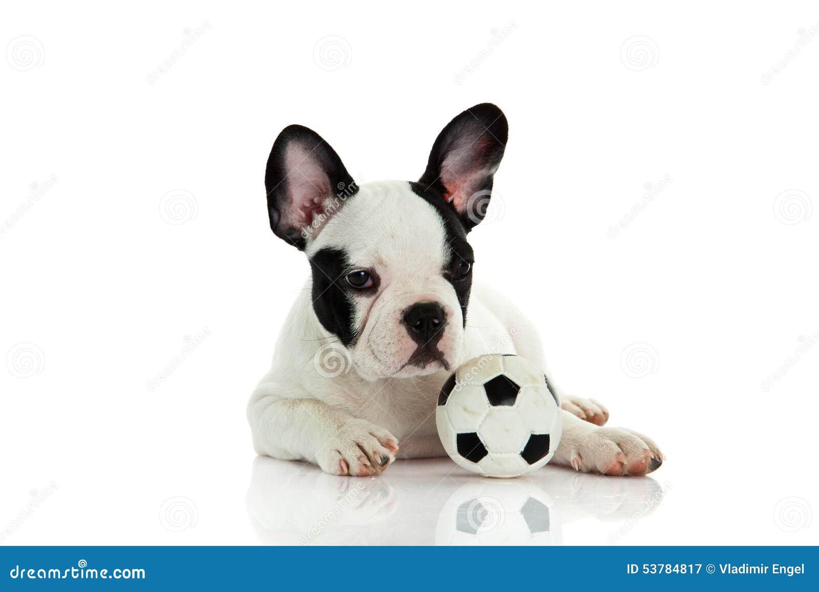 Psi francuski buldog odizolowywający na białym tle z futbolową piłką nożną