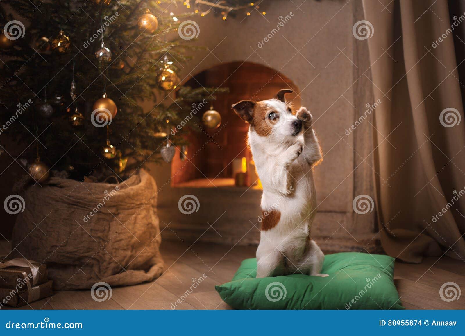 Psi Jack Russel Boże Narodzenie sezon 2017, nowy rok