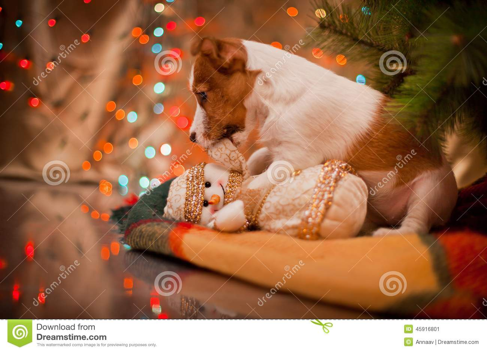 Psi Jack Russel szczeniak Boże Narodzenia,