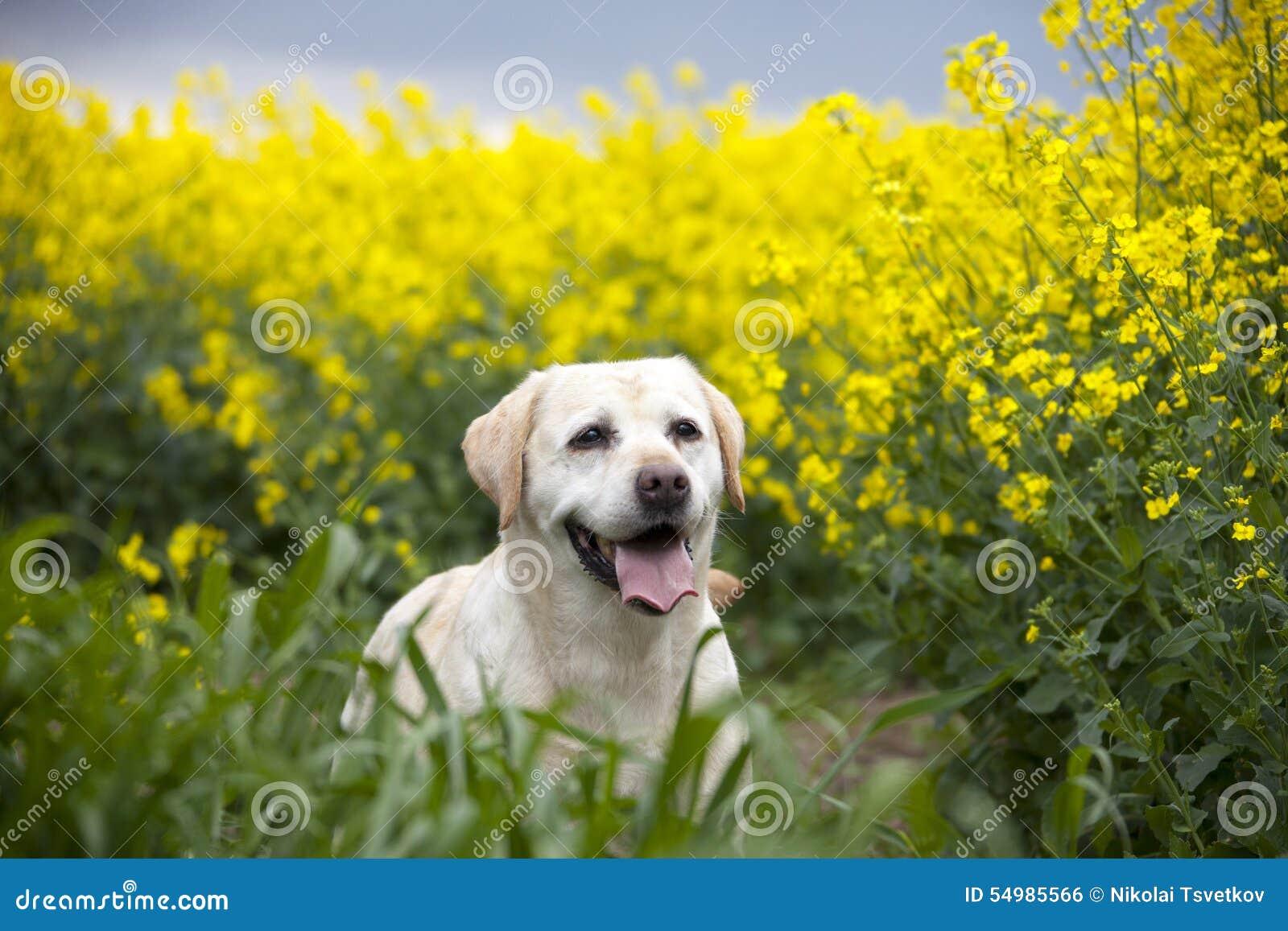 Psi Labrador Retrievera