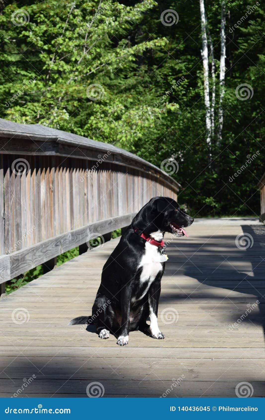Psi nabierający widoki na moście nad rzeką
