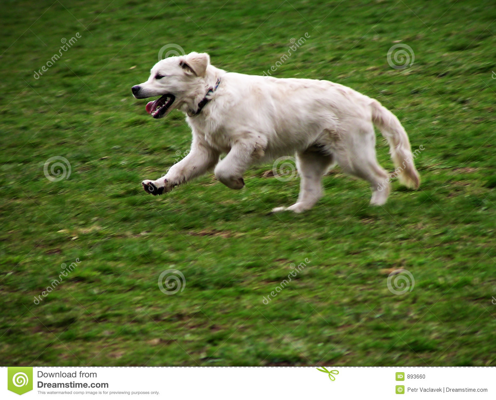 Psi ruch białych