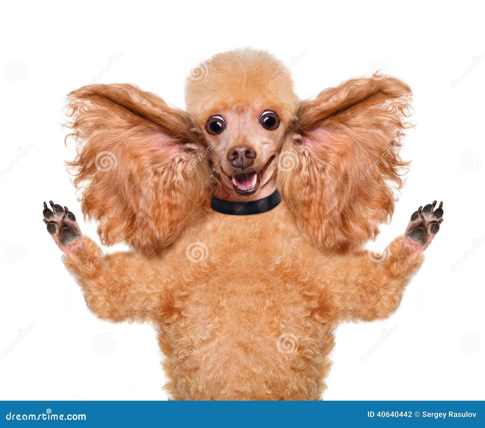 Psi słuchanie z dużymi ucho