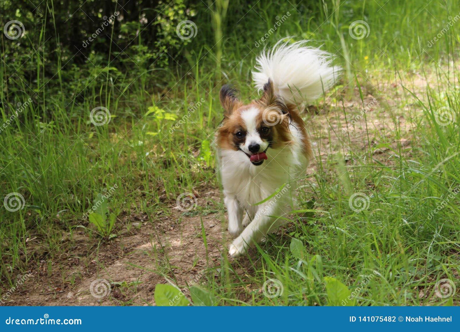 Psi szczeniak na trawa bieg w kierunku kamery