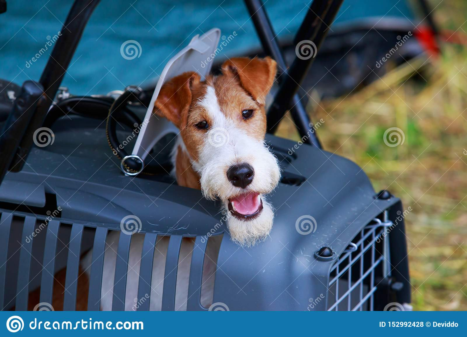 Psi trakenu Fox terier