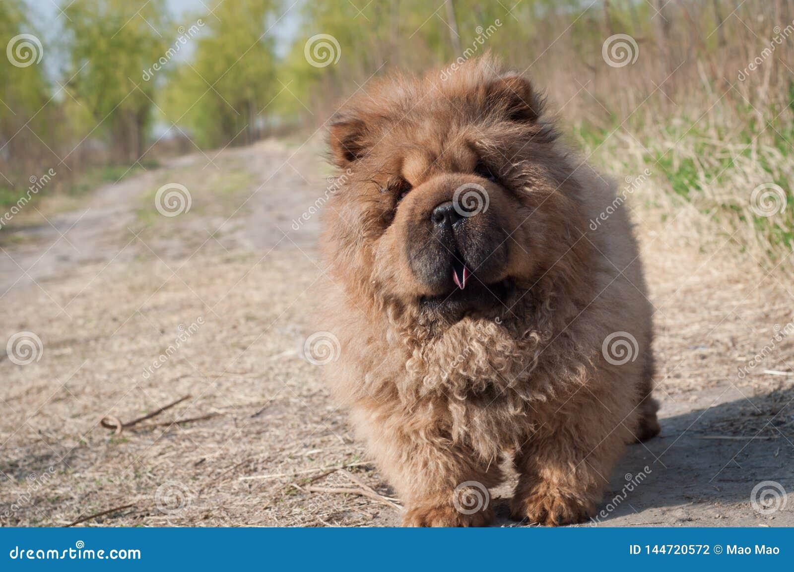 Psi zwierzęcia domowego chow chow bieg na drodze