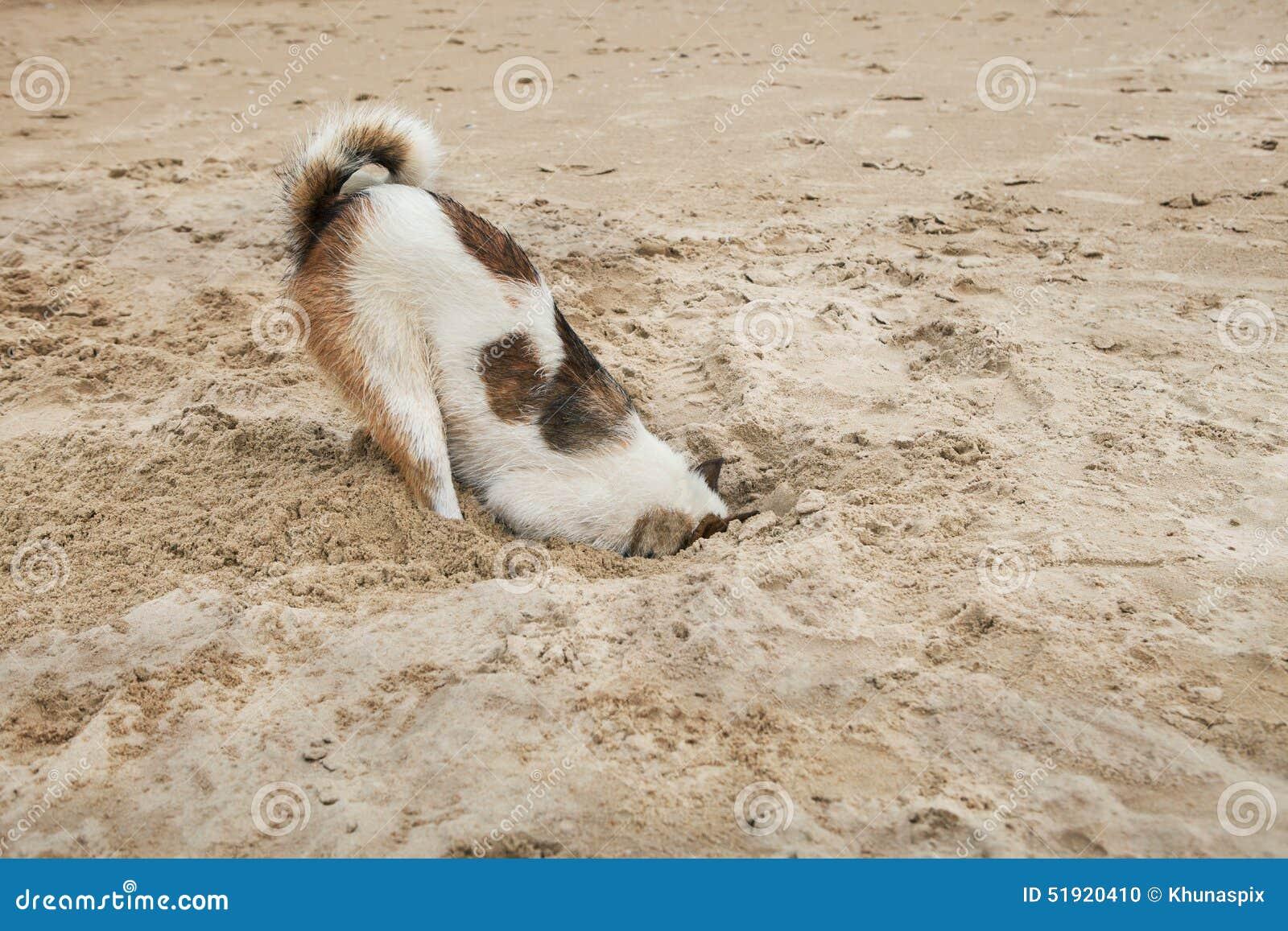 Psia głowa w piasek plaży jak strusi wstyd i strach