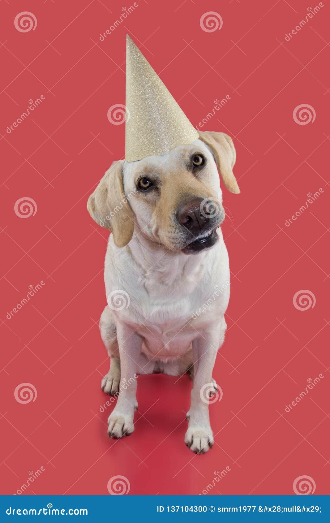 PSIA odświętność urodziny LUB nowego roku przyjęcie BYĆ UBRANYM błyskotliwość ZŁOTEGO kapelusz ODOSOBNIONY strzał PRZECIW KORALOW
