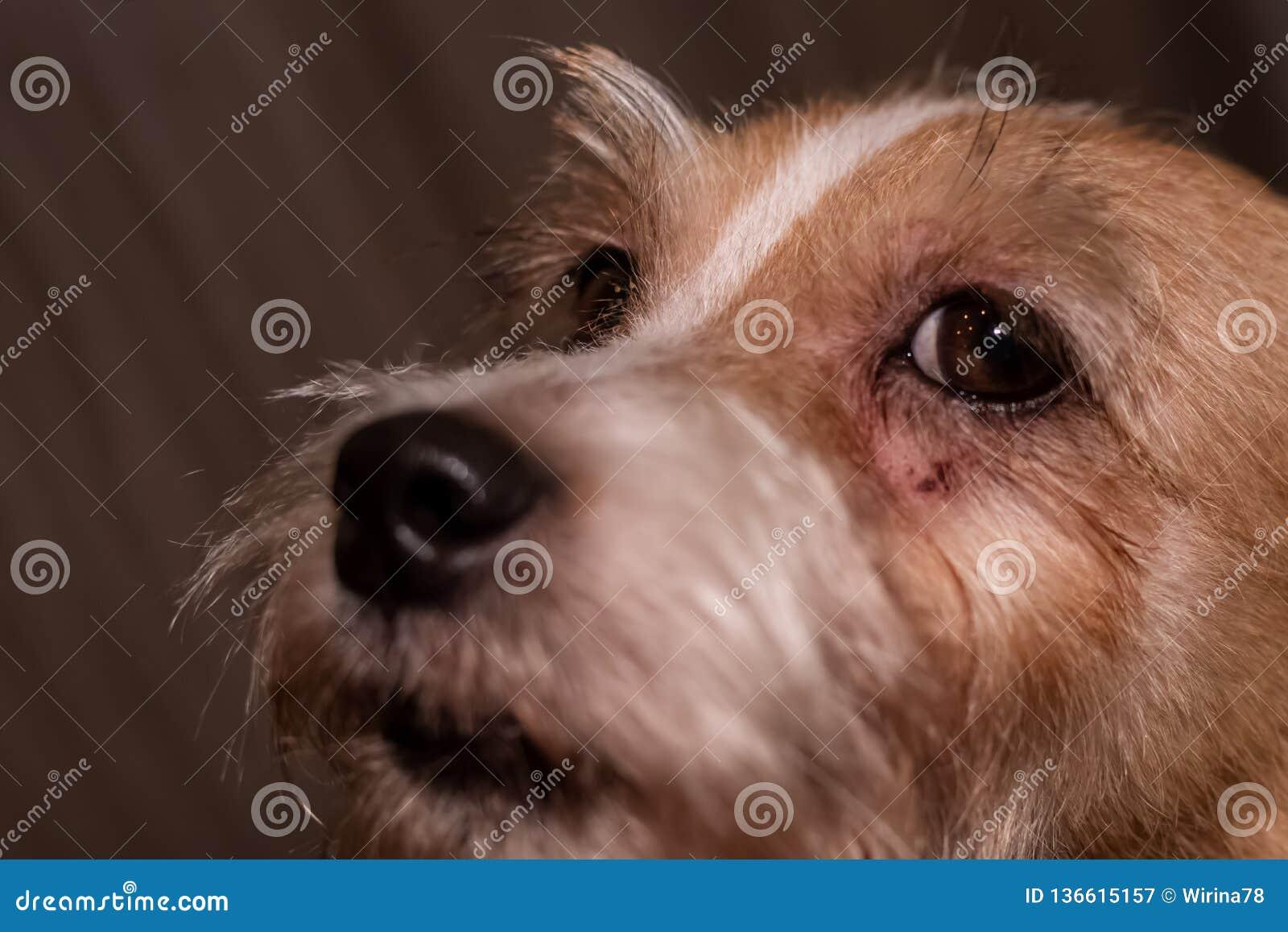 Psiej alergii oczu skóry nad futerka itchy choroba Zbliżenie narysy
