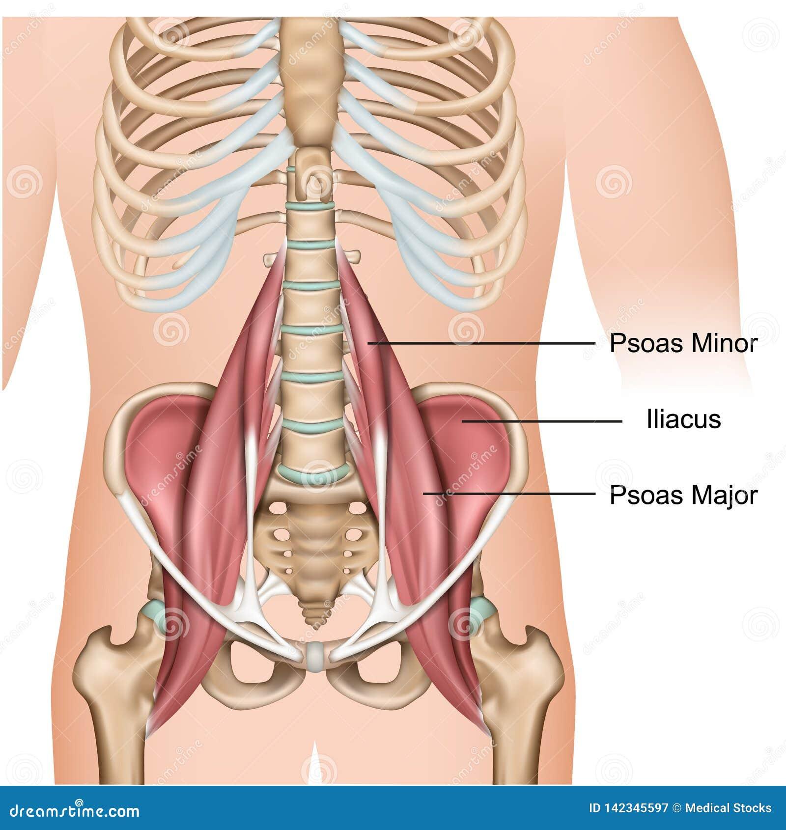 Psoas - σημαντική τρισδιάστατη ιατρική διανυσματική απεικόνιση ανατομίας μυών στο άσπρο υπόβαθρο