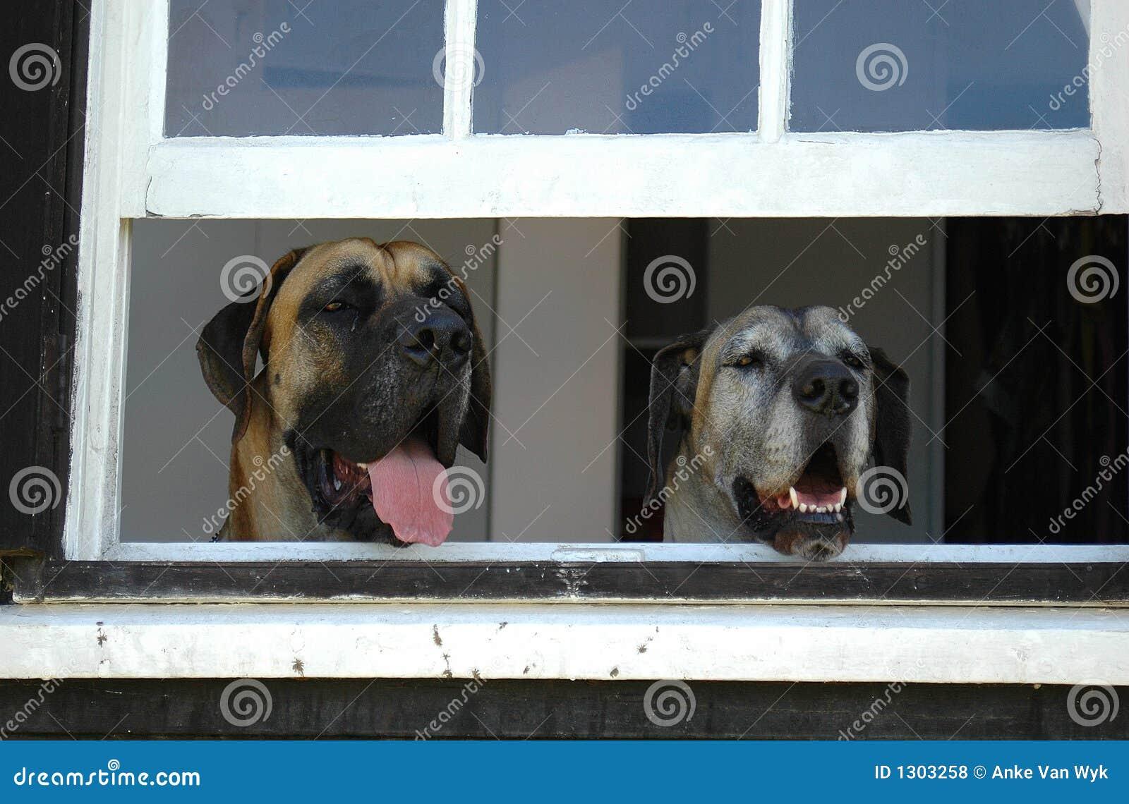 Psy pilnuje domu