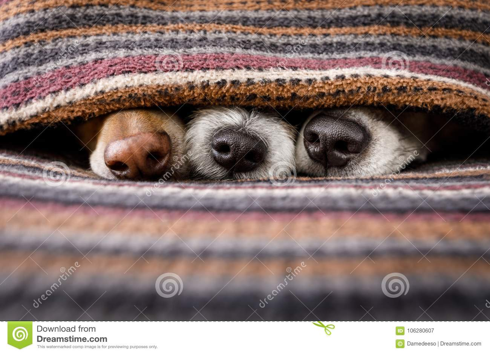 Psy pod koc wpólnie