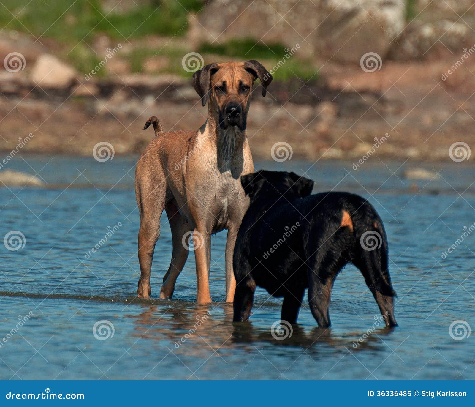 Psy spotykają na plaży