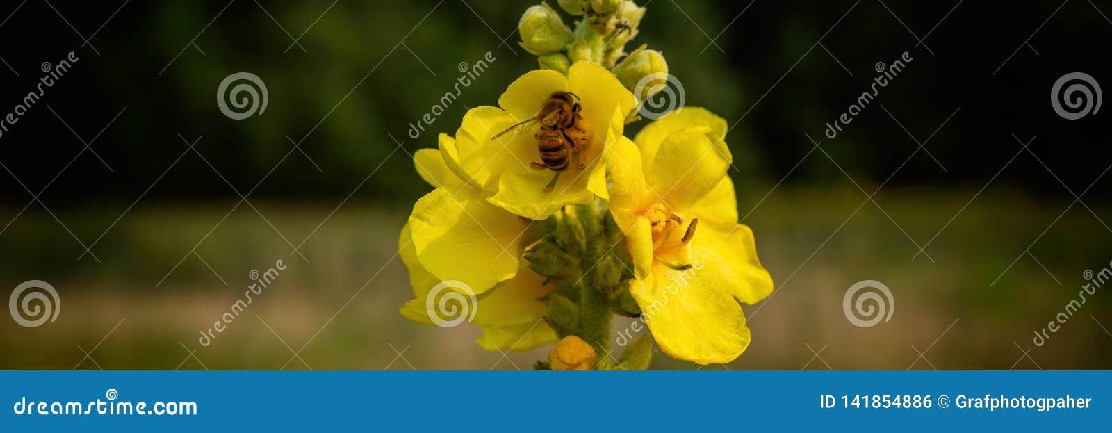 Pszczoła zbiera nektar od dziewanna kwiatów w łące