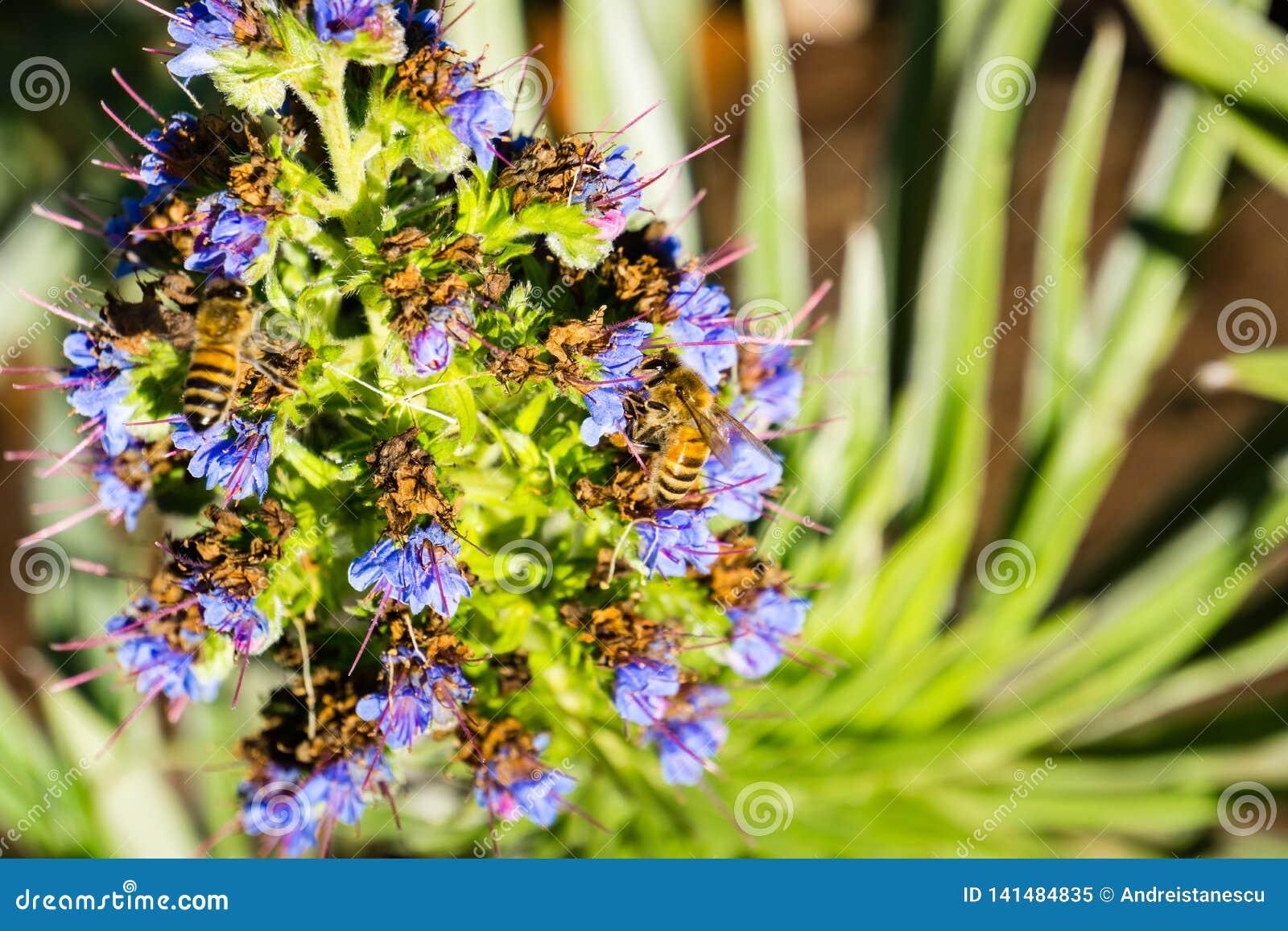 Pszczoły Anthophila na dumie madery Echium Candicans kwiat, Kalifornia