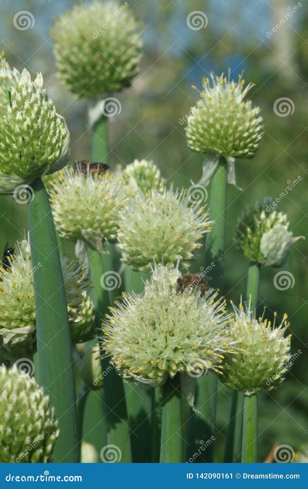 Pszczoły i komarnica na cebulkowym kwiacie