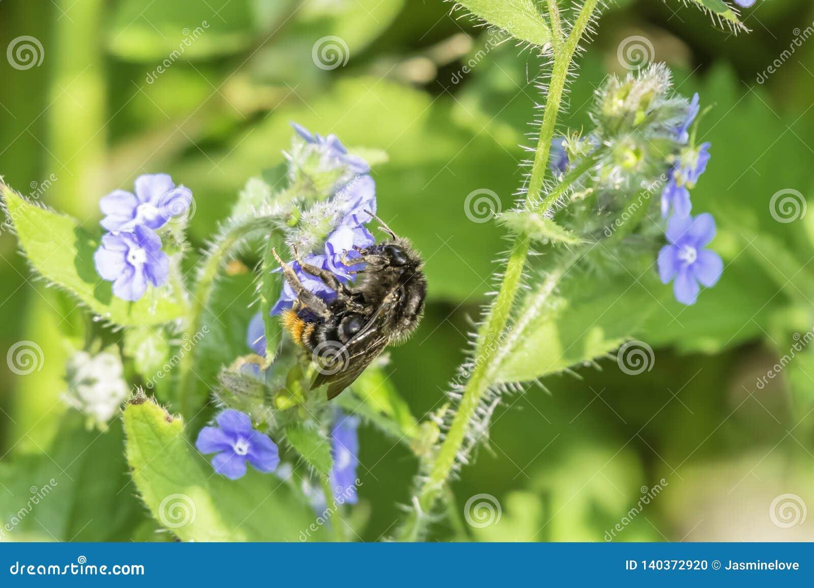 Pszczoły tyczenie na błękitnym wildflower
