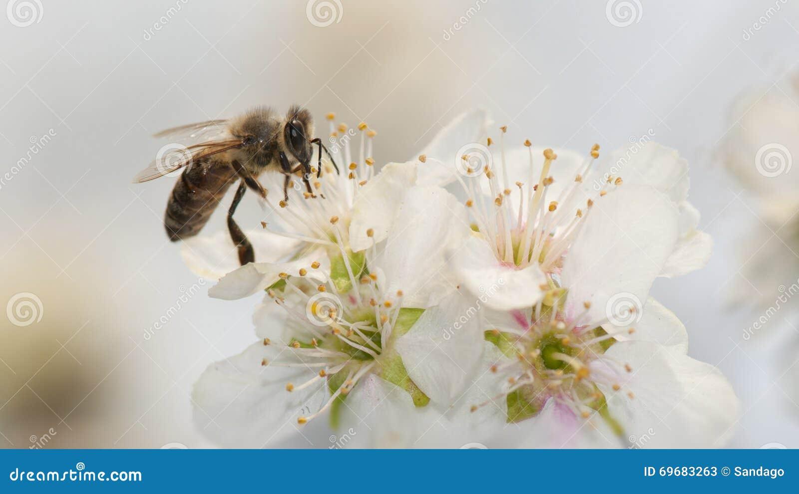 Pszczoła i jabłczany kwiat