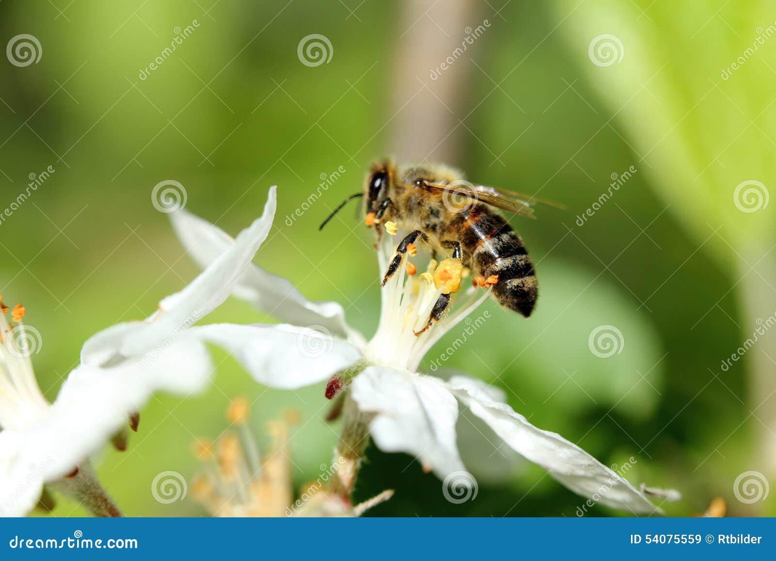 Pszczoła i jabłczany okwitnięcie