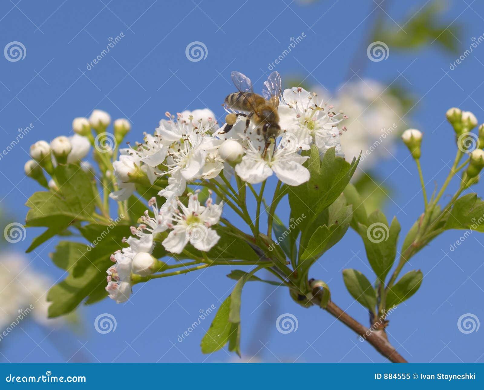 Pszczoła krzak kwitnąca wiosna