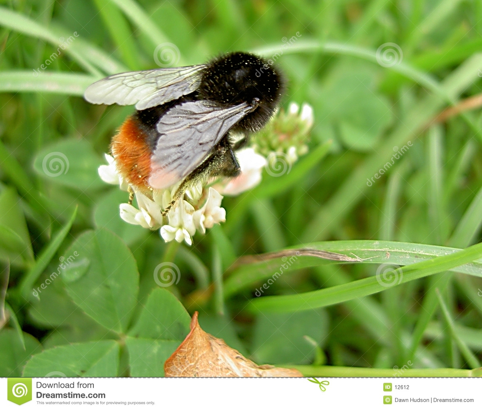 Pszczoła mamrocze