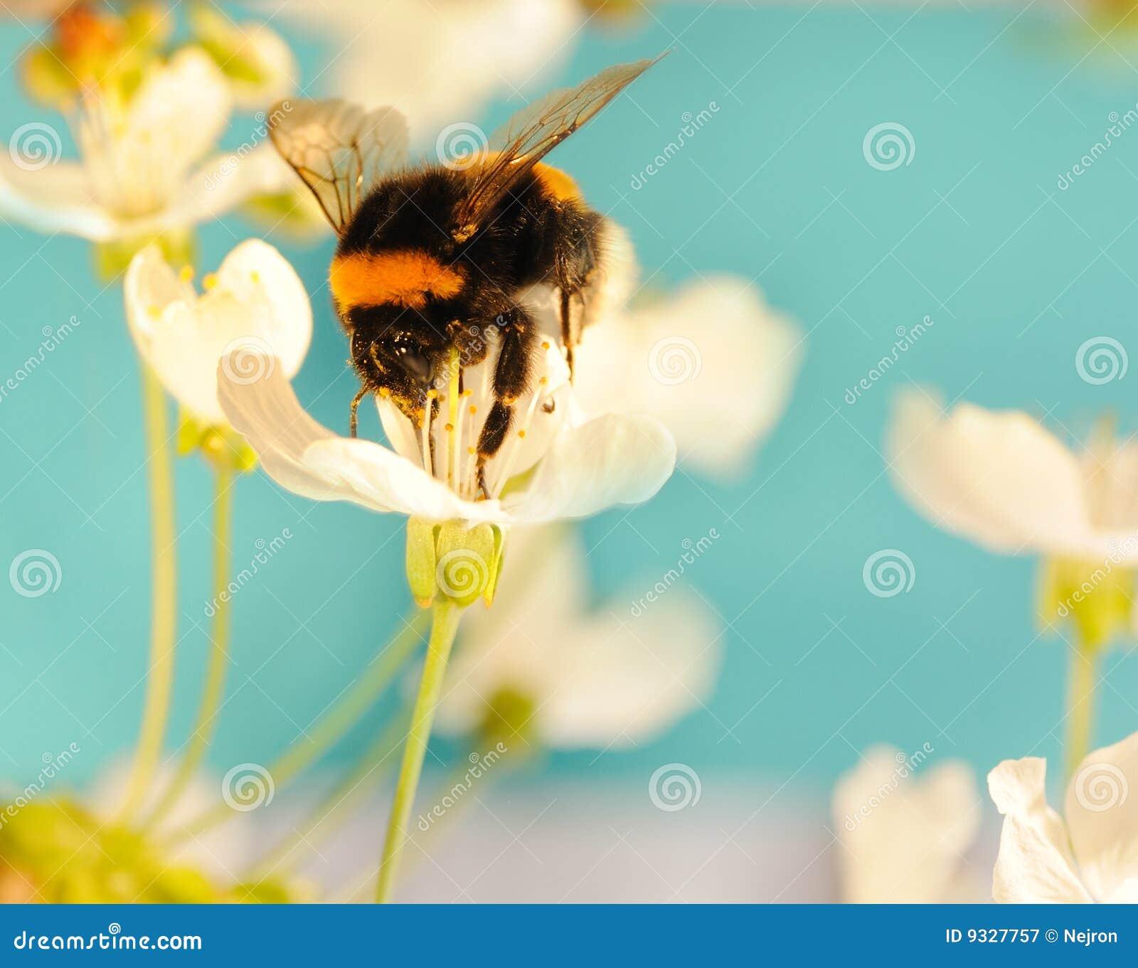Pszczoła mamrocze kwiatu