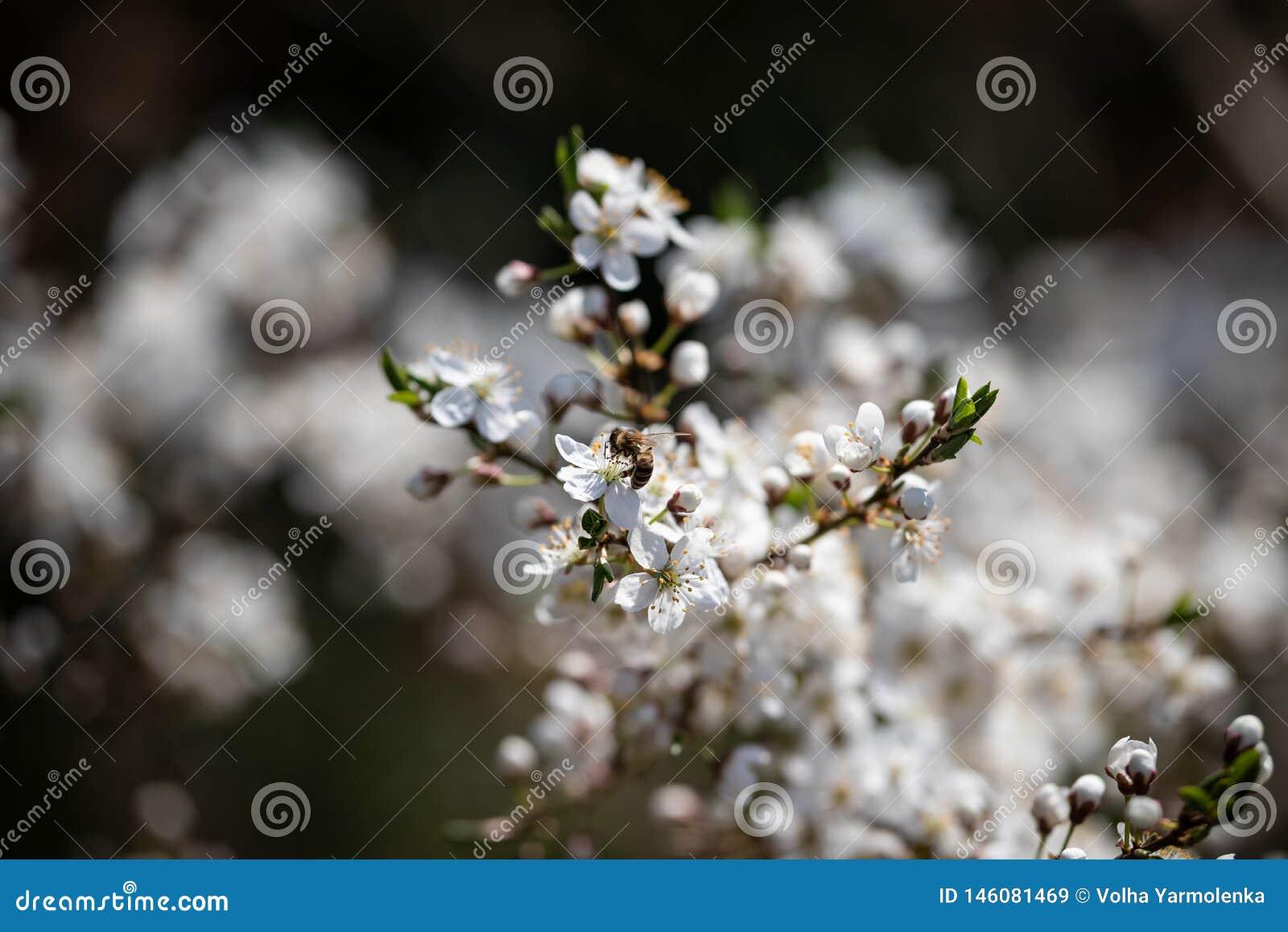 Pszczoła na białym czereśniowym kwiacie