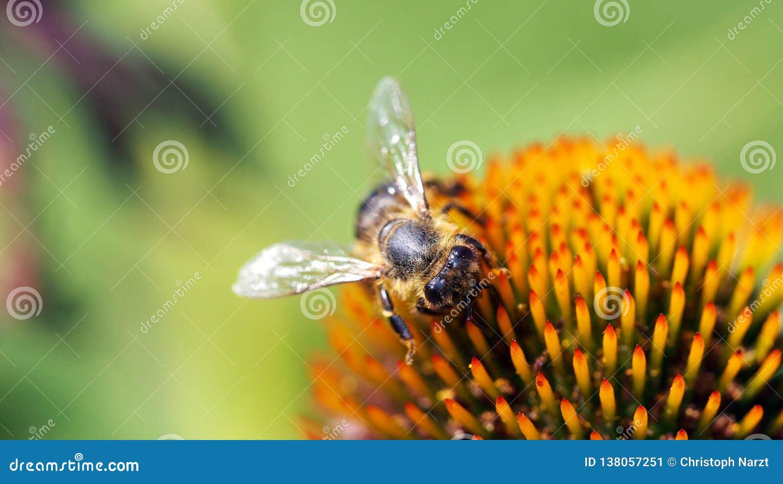 Pszczoła na Coneflower 16to9 ściany obrazku