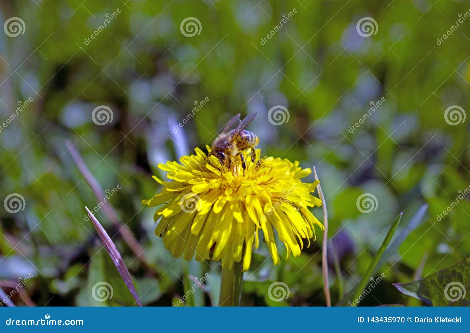 Pszczoła na Dandelion