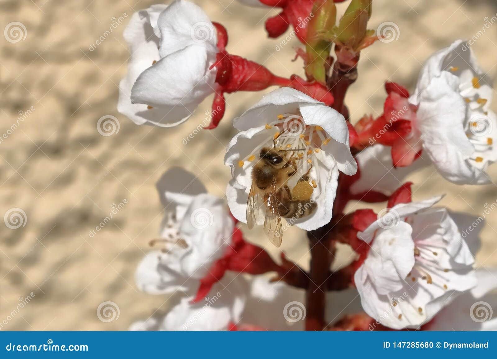 Pszczoła na morelowych okwitnięciach