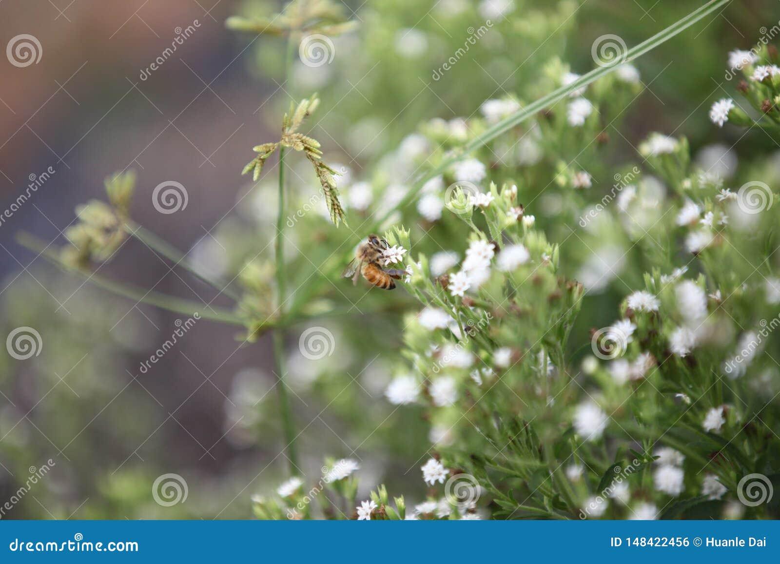 Pszczoła w stevia polu