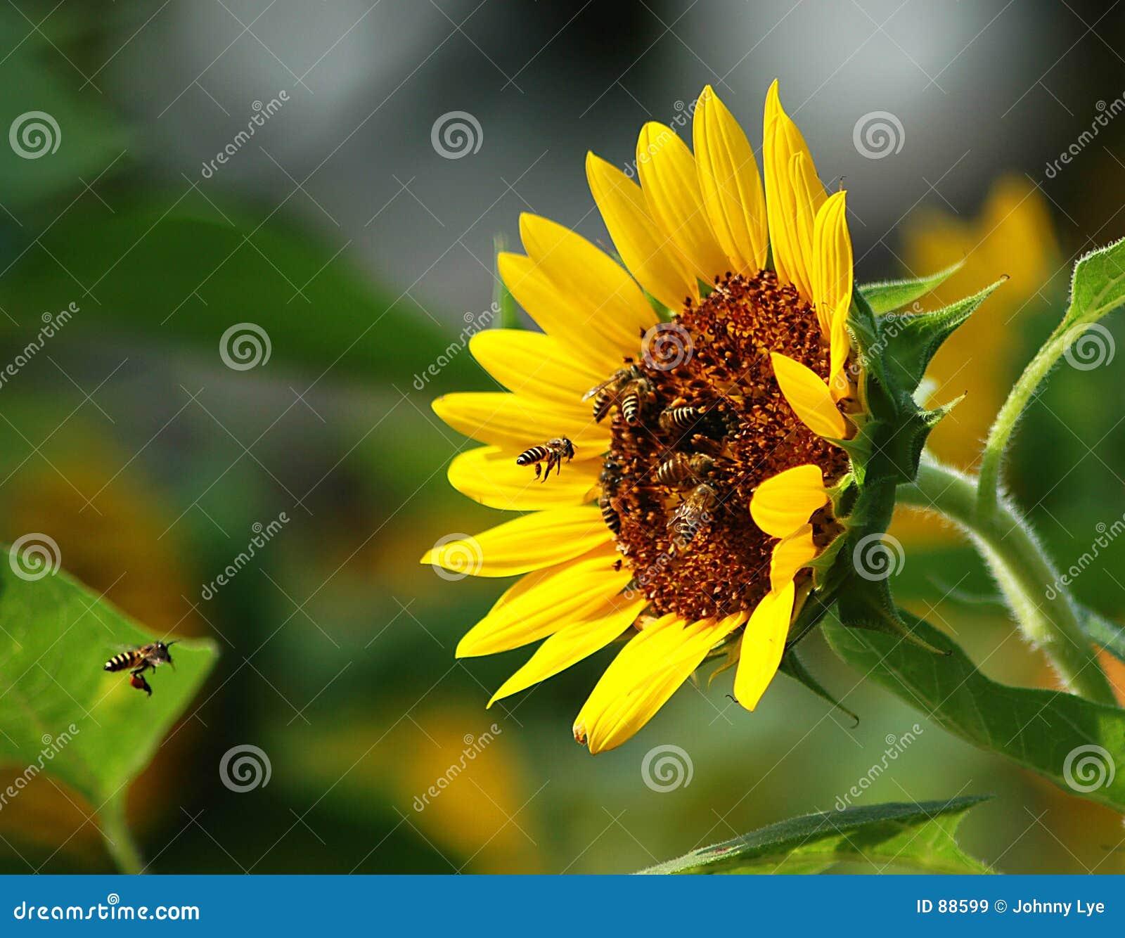 Pszczoła zajęty słonecznik