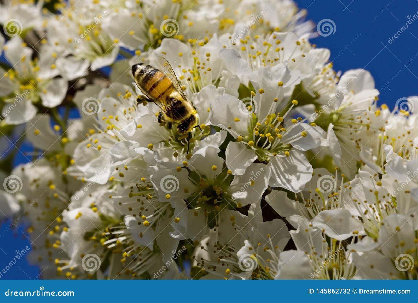 Pszczoła zapyla na białych kwiatach